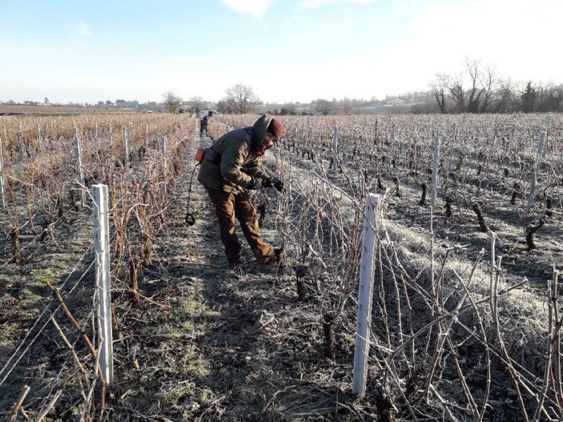 Taille des vignes en Beaujolais